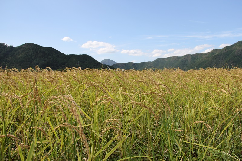 五百万石稲風景